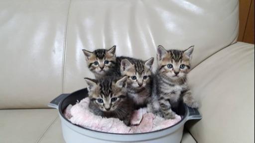 ジモティー里親募集の子猫たち