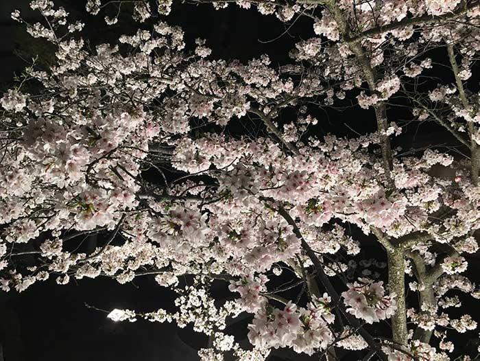 桃陵公園の夜桜