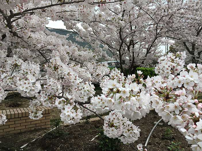 亀水公園の桜
