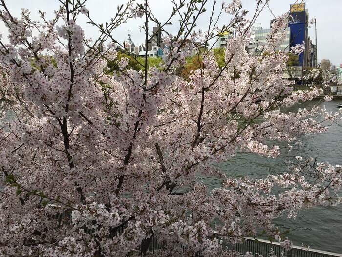 大坂・天満の桜