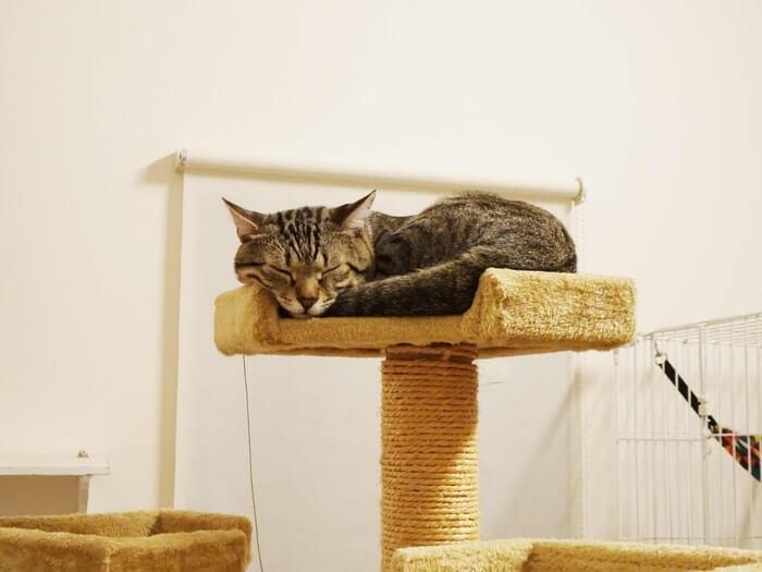 キャットタワーのネコ